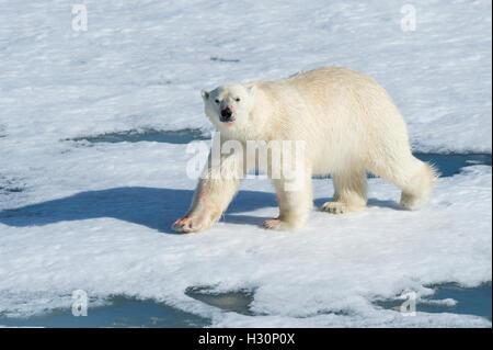 Male Polar Bear (Ursus maritimus) walking on the pack ice, Spitsbergen Island, Svalbard archipelago, Norway, Europe - Stock Photo