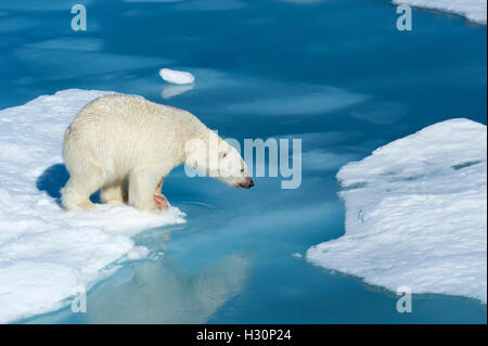 Male Polar Bear (Ursus maritimus) with blood on his nose and leg strating to jump over ice floes and blue water, - Stock Photo