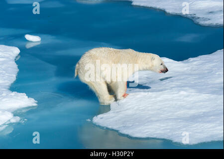 Male Polar Bear (Ursus maritimus) with blood on his nose and leg jumping over ice floes and blue water, Spitsbergen - Stock Photo
