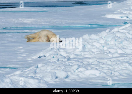 Male Polar Bear (Ursus maritimus) resting and stretching on the pack ice, Spitsbergen Island, Svalbard archipelago, - Stock Photo