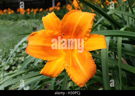 An orange daylily. A wildflower from the midwest - Stock Photo