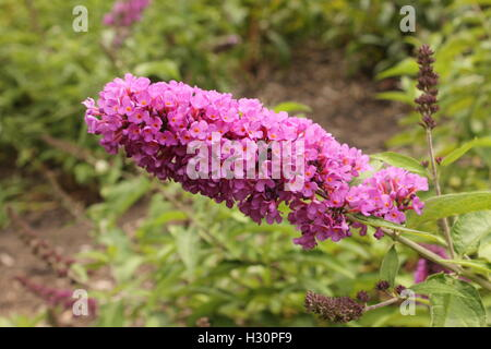 Closeup of purple flowers in Grant Park, Chicago, IL - Stock Photo