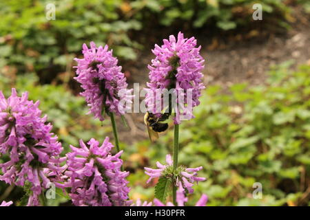 A bee feeding on a flower in Grant Park, Chicago, IL - Stock Photo
