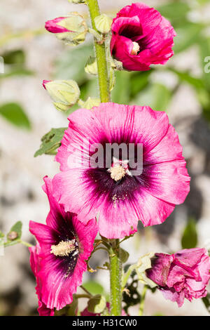 Dark centred pink flowered biennial hollyhock, Alcea rosea, a cottage garden plant. - Stock Photo