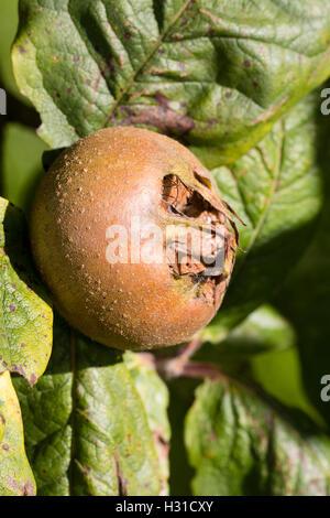 Warty autumn fruit of the Medlar, Mespilus germanica - Stock Photo