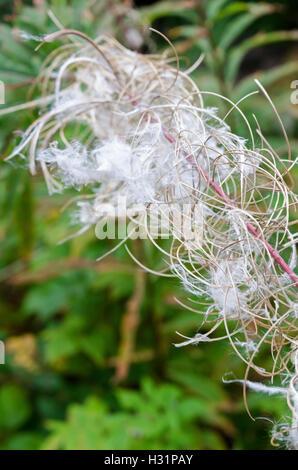 Close-up of fireweed seedheads. - Stock Photo