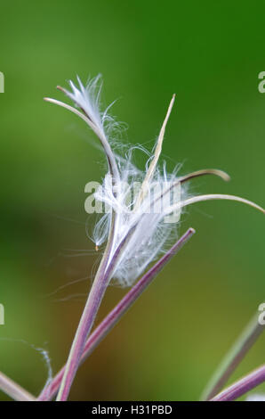 Close-up of a fireweed seedhead. - Stock Photo