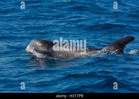RissoÕs Dolphin (Grampus griseus), juvenile, widespread distribution worldwide tropics and temperate waters. California, - Stock Photo