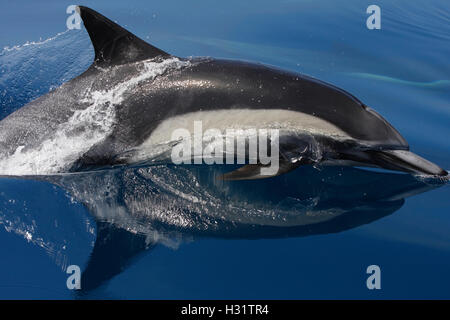 Common Dolphin (Delphinus delphis), also called Short-beaked Common Dolphin. Possibly Long-beaked  Common dolphin - Stock Photo