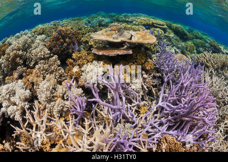 QZ0756-D. hard and soft corals on a healthy coral reef in the Great Barrier Reef Marine Park. Australia, Great Barrier - Stock Photo