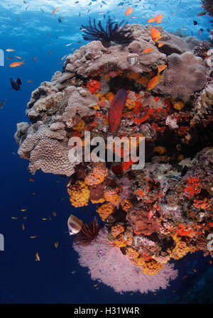 QZ52605-D. Coral Grouper (Cephalopholis miniata) swims down reef wall covered with corals, sponges, and a seafan. - Stock Photo