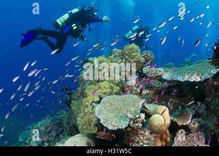 QZ53163-D. Scuba divers swimming over coral reef busy with schools of colorful fish, including anthias. Great Barrier - Stock Photo