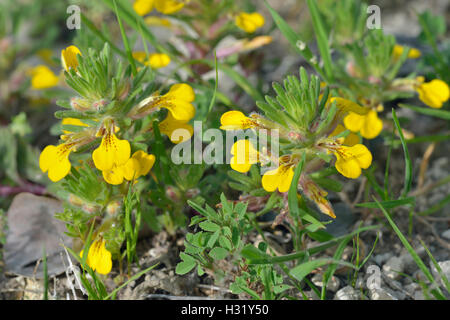 Ground-pine or Yellow Bugle - Ajuga chamaepitys Mediterranean Wild Flower - Stock Photo
