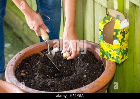 Female gardener planting daffodil bulbs in a terracotta garden pot ready for the Spring UK - Stock Photo