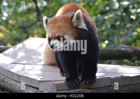 Cute lesser panda bear with very long claws. - Stock Photo