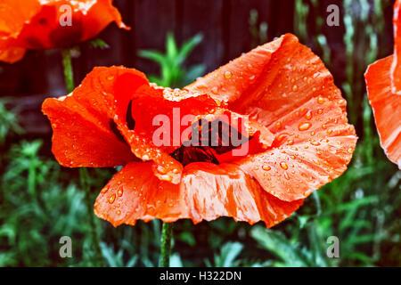 Big red summer garden poppy in raindrops - Stock Photo
