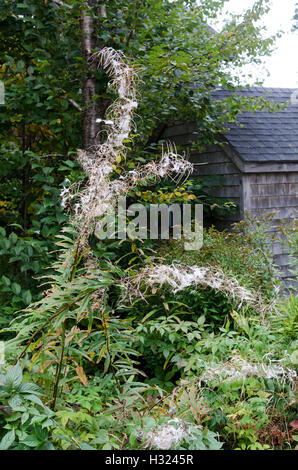 A tall stand of Fireweed on Little Cranberry Island, Maine, shows the characteristically fluffy seedheads. - Stock Photo