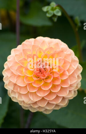 Dahlia 'Blyton Softer Gleam' growing in an herbaceous border. - Stock Photo