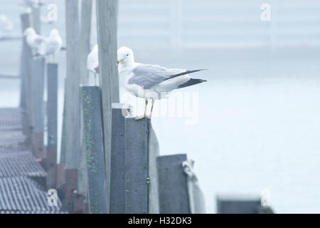 Seagulls resting on posts in Evanston small boat harbor - Stock Photo