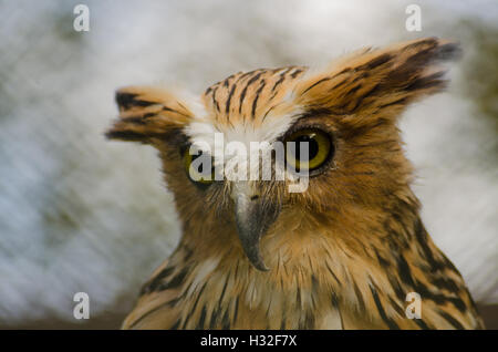 Buffy Fish-Owl - Stock Photo