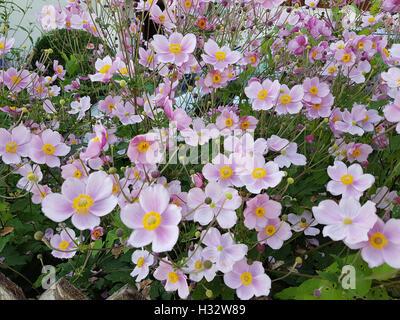 Herbstanemone, Anemone, tomentosa - Stock Photo