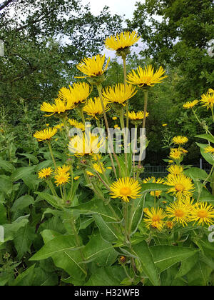 Alant; Bluete; Inula Helenium, Heilpflanze - Stock Photo