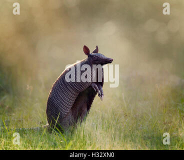 Nine-banded armadillo at sunset - Stock Photo