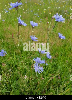Wegwarte; Cichorium; intybus; Ackerpflanze; Chicory; Bachbluete - Stock Photo