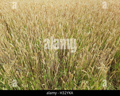 Weizenaehren, Weizenkoerner, Weizen, Triticum, aestivum - Stock Photo