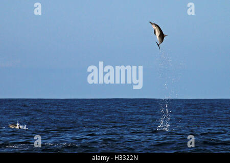 Common Dolphin jumping in the sea of Costa Rica out of Playa Garza - Stock Photo