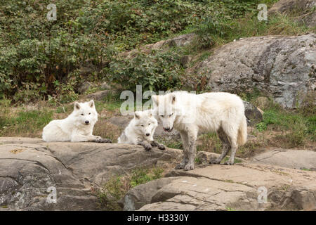 Arctic wolf in the fall forest - Stock Photo