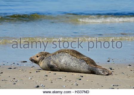 Female grey seal (Halichoerus grypus) resting on beach, Helgoland Dune, North Sea, Schleswig-Holstein, Germany - Stock Photo
