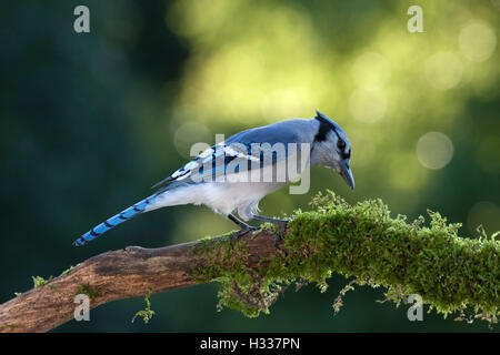 Blue jay perched on moss covered branch searches for food - Stock Photo
