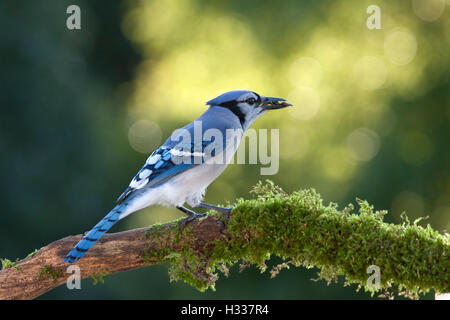 Blue jay perched on moss covered branch eats sunflower seeds - Stock Photo