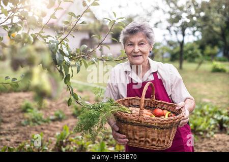 Senior woman in her garden harvesting vegetables. Summer garden. - Stock Photo