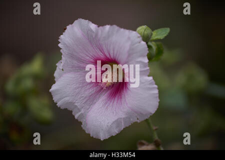 Common hollyhock pink flower close up Alcea rosea - Stock Photo