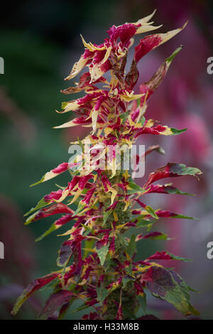 Joseph's coat  Amaranthus tricolor  perfecta plant tampala tandaljo tandalja bhaji callaloo - Stock Photo