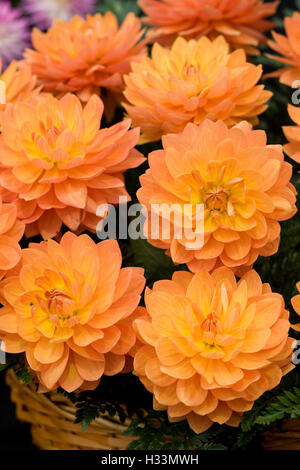 Orange Dahlia in a wicker basket - Stock Photo