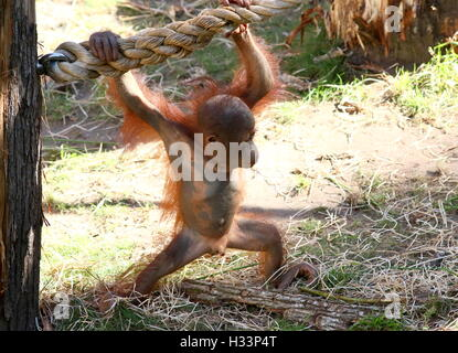 Male Baby Bornean orangutan (Pongo pygmaeus) learning the ropes at Apenheul primate zoo, Apeldoorn, The Netherlands - Stock Photo