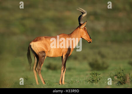 A red hartebeest antelope (Alcelaphus buselaphus), Kalahari, South Africa - Stock Photo