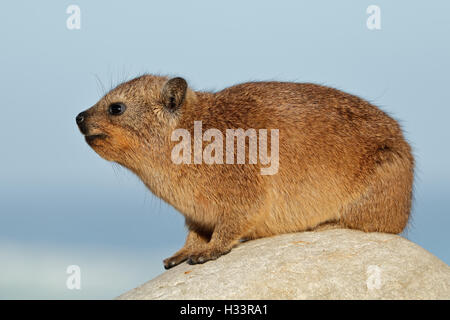 Rock hyrax (Procavia capensis) basking on a rock, South Africa - Stock Photo