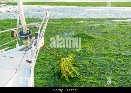Bow of boat and anchor chain covered with sea lettuce on saltwater tidal flats at low tide of Waddensea, Netherlands - Stock Photo