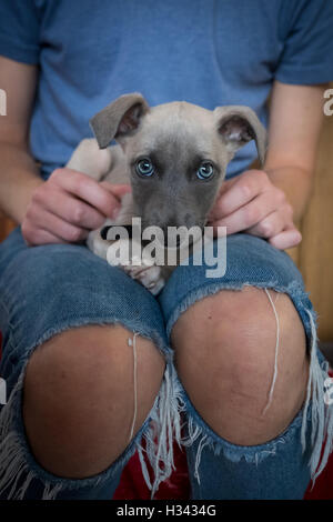 A beautiful lurcher puppy with blue eyes sitting on someone's lap - Stock Photo