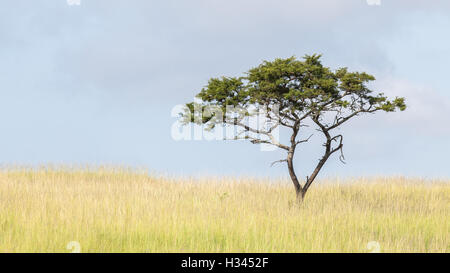 An isolated acacia tree stands in a grassy field, against the backdrop of a cloudy blue sky. - Stock Photo