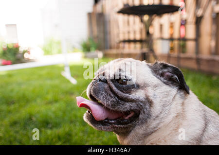 Close up of pug smiling in backyard during summer - Stock Photo