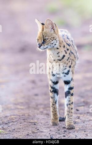 Serval (Leptailurus serval, Felis serval), walking in early morning light at savannah, Masai Mara National Park, - Stock Photo