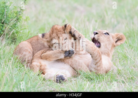 Young lion cubs (Panthera leo) playing together, Maasai Mara national reserve, Kenya - Stock Photo
