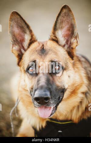 Brown German Shepherd Dog Close Up Portrait. Alsatian Wolf Dog - Stock Photo