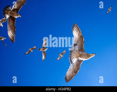 seagulls flying directly overhead in a line, beautiful marking on the seagulls against a striking blue sky, beautiful - Stock Photo