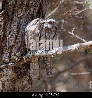 A pair of roosting Tawny Frogmouths (Podargus strigoides) in woodland beside Lake Joondalup, Western Australia - Stock Photo